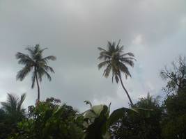 The Coconut Trees_0010 by Shuberth