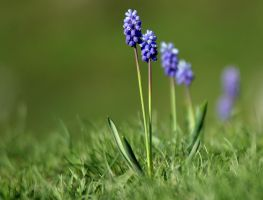 Wild Grape hyacinths. by MiqeMorbid