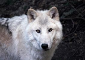 Arctic Wolf by FK-Photography