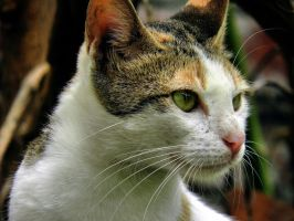 cat by kumarvijay1708