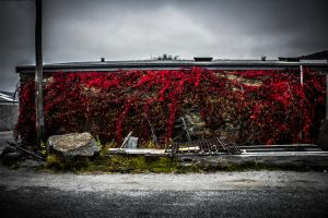 Vibrant red vines in a dull area (Clyde) by S-C-H-B-L