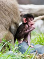 Baboon Infant by ARC-Photographic