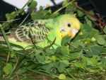 Clover Keet by parrots4life