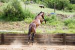 KM brown showjump leap in air rear view behind by Chunga-Stock