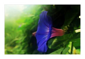 Morning glory . by 999999999a