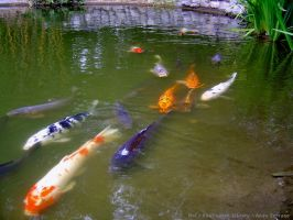 Tranquil, Happy, Koi by AndySerrano