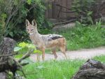 Black-backed Jackal by animalphotos