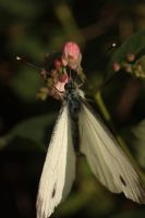 pieris brassicae by marob0501
