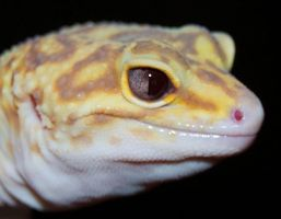 Albino Eclipse Leopard Gecko eyes by Phoenix-Cry