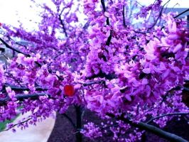 Eastern Red Bud by dazzleflash