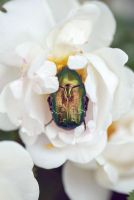 Rose Chafer by LiaSelina
