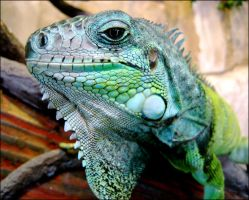 iguana by alcoholscented