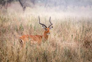 Impala in the Grass by Mark-Fisher-Photos