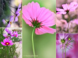 Garden Cosmos by theresahelmer
