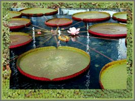 Lily Pads by buildingclimber