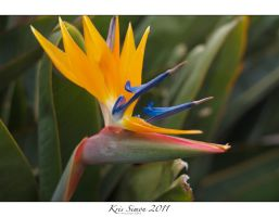 Bird of Paradise Flower by KrisSimon