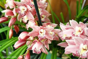 Orchids 2 by rijah