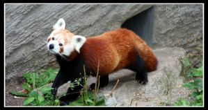 Red Panda I by Arwen91