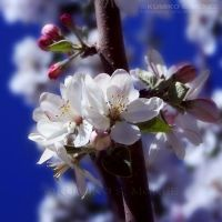Apple Blossom by KSMPhotography