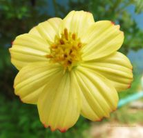 Yellow Flower by ShipperTrish