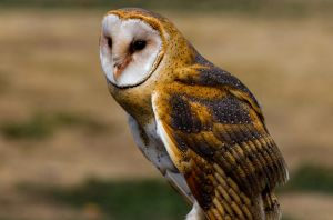 Barn Owl by nigel3