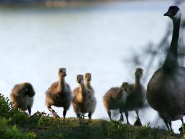 Some Goslings by TomiTapio