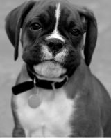 Boxer puppy 3 by 30-noir