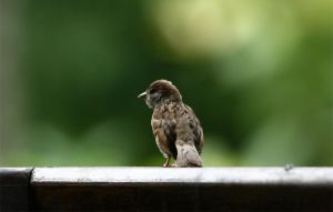 Tree Sparrow by yourloveleaves