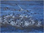 Heron Herding Coots by SuicideBySafetyPin