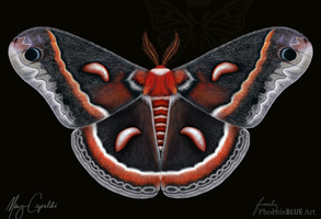 Cecropia Moth by MaryCapaldi