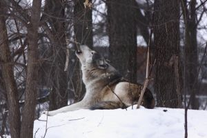 Wolf Song by MTaylorPhotography