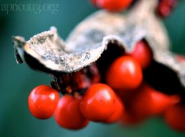 Red Berries by xxalice