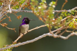 Hummingbird Perched 1 by bovey-photo