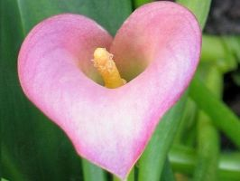 Pink Calla Lilly 2 by DWALKER1047