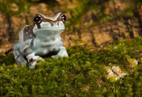 Milk frog on moss by AngiWallace