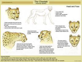 Cheetah Head Study by Amritha