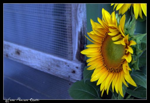 Foreground of a sunflower by SweetSary
