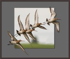 Black Tailed Godwits by pixellence2