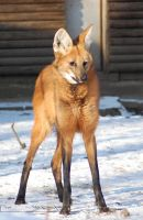 Maned Wolf by Wild-Soul