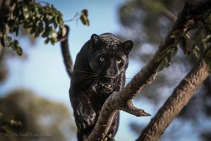 Panther by close-up-clive