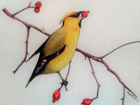 Bohemian Waxwing by Supach