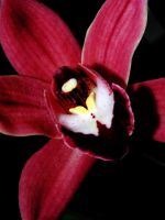 red orchid by BlackEyesSnowAngel