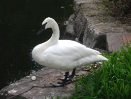 Trumpeter Swan by MapleRose-stock