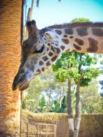 Giraffe at the Zoo by zevensoft
