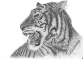 Tiger Study SCANNED by AmanSahota