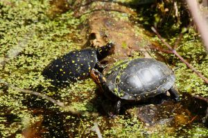 A couple of Spotted Turtles by natureguy