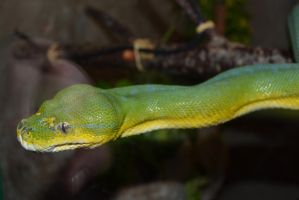 Looking Through the Glass ... Green Tree Python by Danesippi