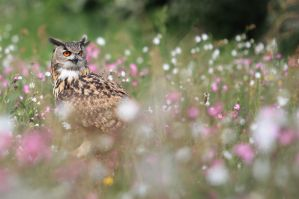 Eagle owl amongst wildflowers by AngiWallace