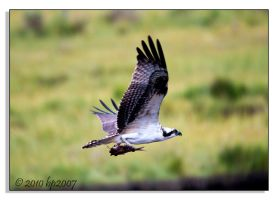 Osprey - 5 by bp2007