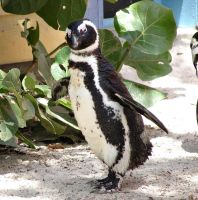 A penquin with attitude by gjheitz